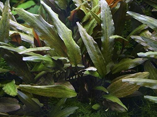 Aqualumenes Plantas Naturales Acuario para Acuario Agua Dulce.Cryptocorine walkery