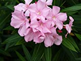 Soft Pink Oleander aka Nerium oleander 'Pink Beauty' TREE Live Plant - Fit 5 Gal pot-w FREE GIRF-From Bellacia Garden