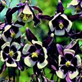 Outsidepride Columbine William Guinness Flower Seed - 1000 seeds