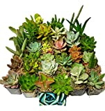 Succulent Plants in Planters with Soil - Living Indoor or Outdoor Plants 2 Inch Variety Packages for Cactus Decor, Gifts, Shower & Wedding Decorations (100)