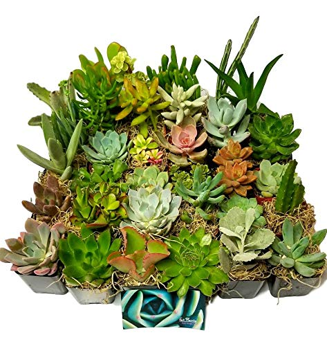 Succulent Plants in Planters with Soil - Living Indoor or Outdoor Plants 2 Inch Variety Packages for Cactus Decor, Gifts, Shower & Wedding Decorations (100) by Fat Plants San Diego (Image #1)