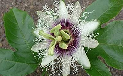 Edible Passion Flower 5 Seeds - Passiflora edulis