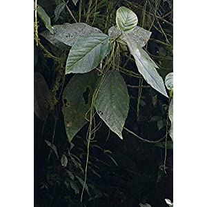 50 Seeds Small Tropical Tree - Myriocarpa stipitata 17