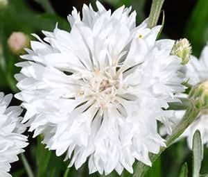 CORNFLOWER BACHELOR'S BUTTON WHITE DWARF Centaurea Cyanus - 5,000 Bulk Seeds