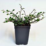 Miniature Fairy Garden Muehlenbeckia complexa, Fairy Vine