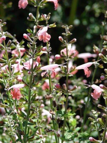30 CORAL NYMPH SALVIA Coccinea Hummingbird Sage Flower Seeds ping