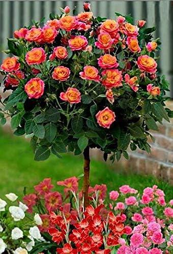 SVI Fresca 100 PC en casa jardín de rosas semillas de flores para plantar mixta 16: Amazon.es: Jardín
