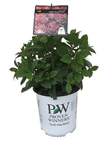 Proven Winners Little Quick Fire Hydrangea - Hydrangea P Little Quick Fire - 2 Gallon