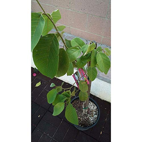 Vietnamese Cherimoya Tropical Fruit Trees 3-4 Feet Height in 3 Gallon Pot #BS1 by iniloplant (Image #2)