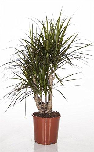 Dracaena marginata zweifarbig, verzweigt 100cm /- , Drachenbaum,Drachenlilie