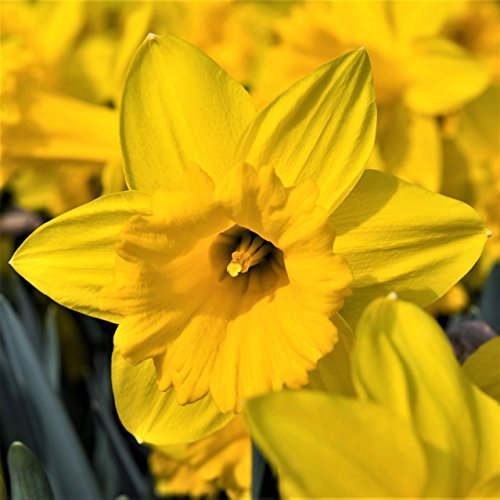 Dutch Master Daffodil 20 Bulbs ()