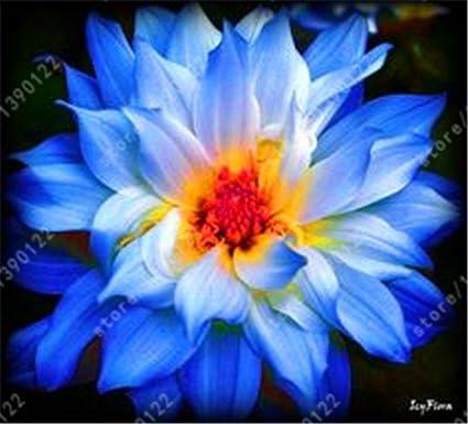Amazon Real Dahlia Bulbs Dahlia Flower Bonsai Flower Bulbs