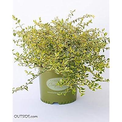 Hopleys Twist of Lime Abelia : Garden & Outdoor