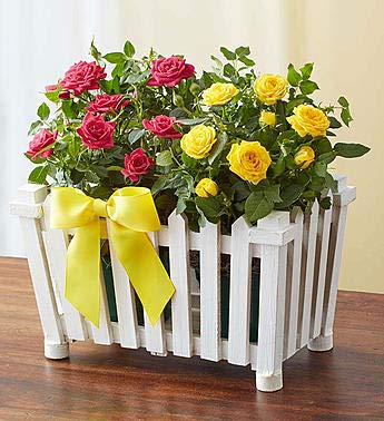 1800Flowers Charming Pink and Yellow Rose Garden with White Picket Fence Planter (Large)
