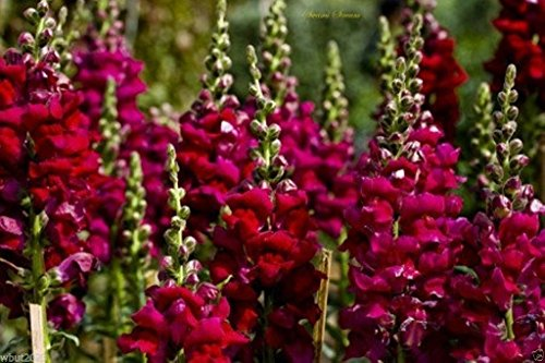 Snapdragon SEEDS (Antirrhinum Majus Maximum) Ruby Red 500 Seeds - Perennial !
