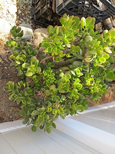 Go Garden Rooted 4'' Jade House Plant Succulent Crassula for sale  Delivered anywhere in Canada