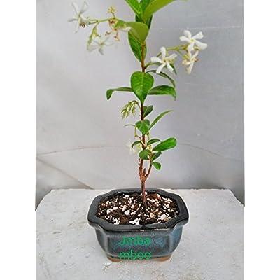 Jasmine 'Star' Plant Jasminum Nitidum- FRAGRANT - Bonsai Pot - Rectangle Indented Corners 4 X 4 X 2 '' From Jmbamboo: Everything Else