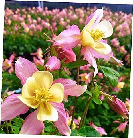 Amazon Com Abelyn Plant Zone 3 8 Aquilegia Caerulea Origami Pink