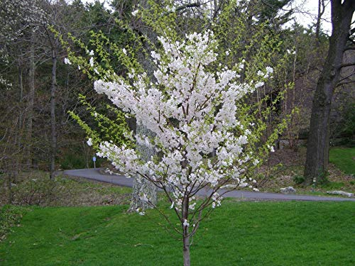 Yoshino Cherry - 1 Yoshino Flowering Cherry Tree (Prunus x yedoensis) 2 to 3 feet Tall $19.99 ea