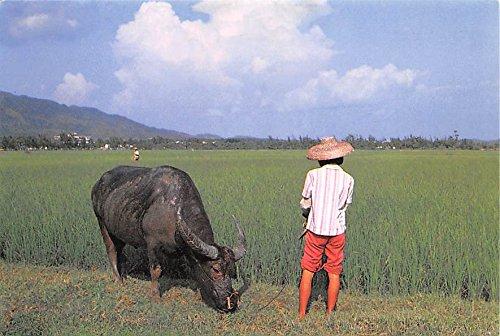 Water Buffalo girl is feeding China, People's Republic of China Postcard
