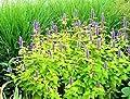 30 GOLDEN JUBILEE AGASTACHE Anise Hyssop Licorice Purple Flower Foeniculum Seeds