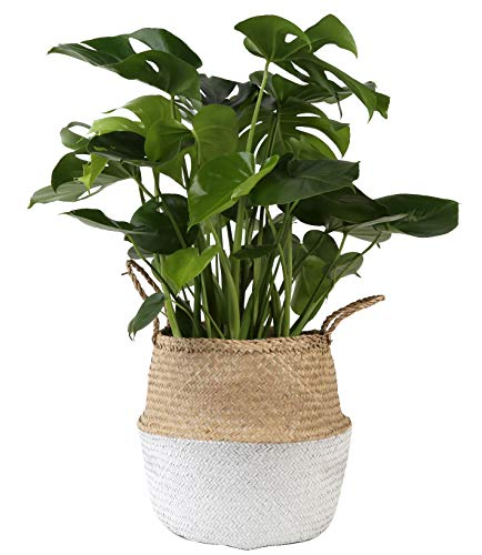 Costa Farms Swiss Cheese Monstera deliciosa, Indoor Plant in Seagrass Basket, 2 to 3-Feet Tall, White-Natural