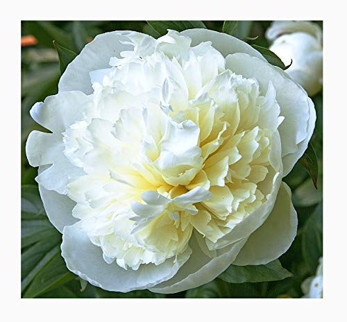 (SPECIAL SALE: Duchess De Nemours Peony - White and Cream Bare Root 3-5 Eyes)