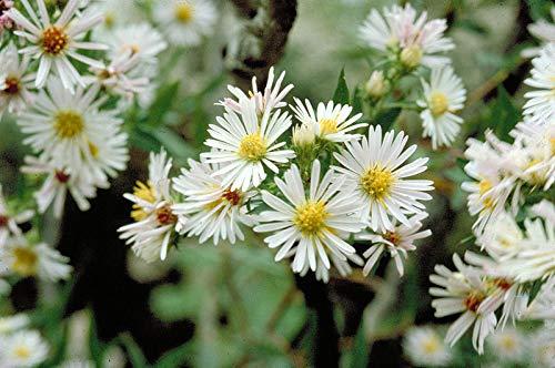 Casavidas Seeds Package: Aster Novi-Belgii Snow Cushion Michaelmas Daisy Perennial Seeds in 7Cm Pot