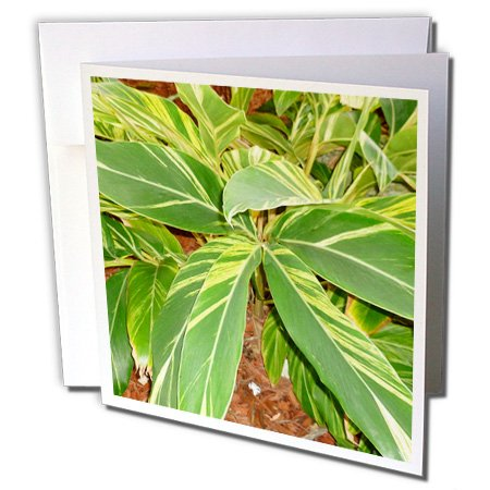 3dRose Susans Zoo Crew Flowers - Ginger plant sq - 1 Greeting Card with envelope (gc_156038_5)