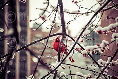 Park Scene Central - Cardinal on Snowy Branch. Winter Scene, Central Park, Nature, City, Red, Bird, Snow, Blooms, Art Photography, Print, Wall Decor, Sizes available from 5x7 to 20x30
