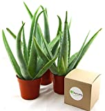 "Shop Succulents | Alluring Aloe Collection of Live Aloe Plants, Hand Selected Variety Pack of Aloe Plants, | Collection of 3 in 4"" pots"
