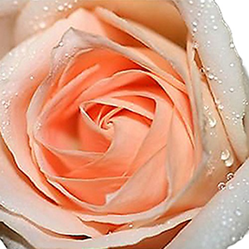 Buy the best rose champagne