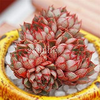 Pinkdose 100pcs Mini pianta di Cactus Misto fiore succulente bonsai di fiori da giardino Rare Sempervivum: 13