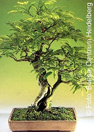Amazon Com Tropica Tamarind Tamarindus Indica 4 Seeds Bonsai Garden Outdoor