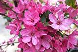 Robinson Pink Flowering Crabapple - 2 Year Old 4-5