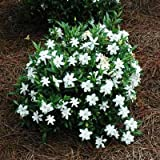 buy Brighter Blooms Dwarf Radicans Gardenia Live Potted Plant - Fragrant Flowering Dwarf Shrub with Citrus Scent now, new 2018-2017 bestseller, review and Photo, best price $59.99