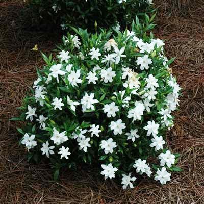 Brighter Blooms Dwarf Radicans Gardenia Live Potted Plant - Fragrant Flowering Dwarf Shrub with Citrus - Potted Gardenia