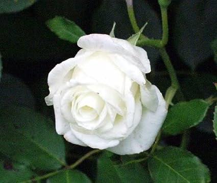 Amazon 5 white rose rosa bush shrub perennial flower seeds 5 white rose rosa bush shrub perennial flower seeds comb sh mightylinksfo