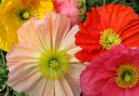 (APOPI)~CHAMPAGNE BUBBLES MIX-ICELAND POPPY~Seeds!!!!!!!~Lots of Crepe Paper Flowers!