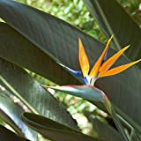Outsidepride Bird of Paradise Plant Flower Seed - 50 Seeds