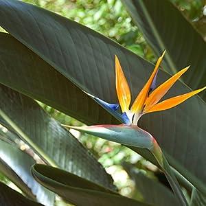 Outsidepride Bird of Paradise Plant Flower Seed - 50 Seeds 133