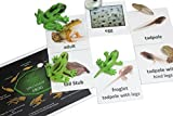 frog development - Montessori Frog Life Cycle Animal Match Cards and Figurines. Nomenclature Science Work Teaching