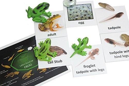 Montessori Frog Life Cycle Animal Match Cards and Figurines. Nomenclature