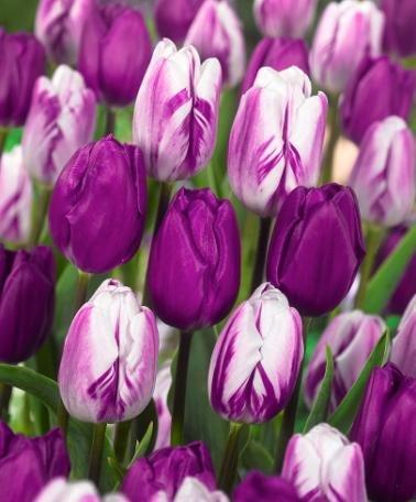 Lavender Dream Tulip Seeds 30+ Seeds Upc 643451295351