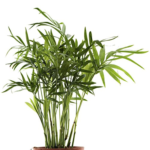 30 Seeds Bamboo Palm Seeds Lady Palm Indoor Plants Rhapis Excelsa DIY Home Garden Tree Seeds Air Purification Bonsai Seeds Bamboo Palm Seeds