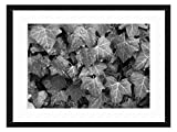 Wood Framed Canvas Artwork Home Decore Wall Art (Black White 20x14 inch) - Ivy Leaves Wet Plant Pattern Hedera Hedera Helix