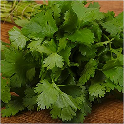 Package of 250 Seeds, Cilantro Herb (Coriandrum sativum) Non-GMO Seeds By Seed Needs