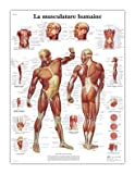 #10: 3B Scientific VR1118UU Glossy Paper Human Muscle Anatomical Chart, Poster Size 20