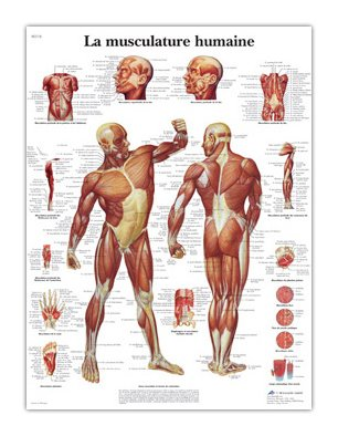3B Scientific Glossy Paper Human Muscle Anatomical Chart
