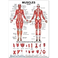 The Muscles Female Poster 12 * 17inch, for Physical...